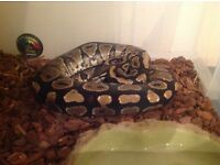 Yellow Belly Royal / Ball Python with full set up - CB14 male snake