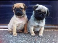 Pug stunning puppies for sale