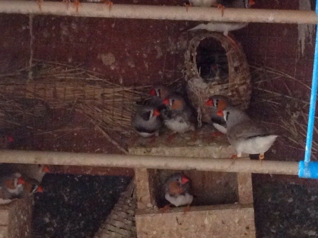Zebra finches to new home very cheep!