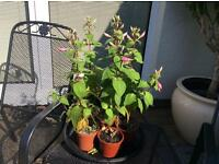 Fuschia plants