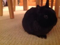 Netherland Dwarf Rabbit (Pure Bred, Castrated) - 5 months old