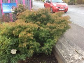 Japanese Cedar bush
