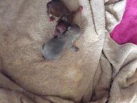 Rare lilac and chocolate chihuahua puppies