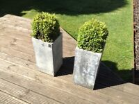 2 x stone planters with trimmed hedging