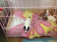 Male jack Russell pups