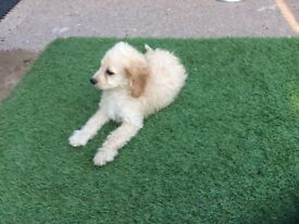 Female Cockapoo puppy, apricot colour 10 weeks old,