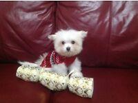 Puppy cute small Maltese X chihuahua maltichi white fluffy non moulting lap dog like cavachon teddy