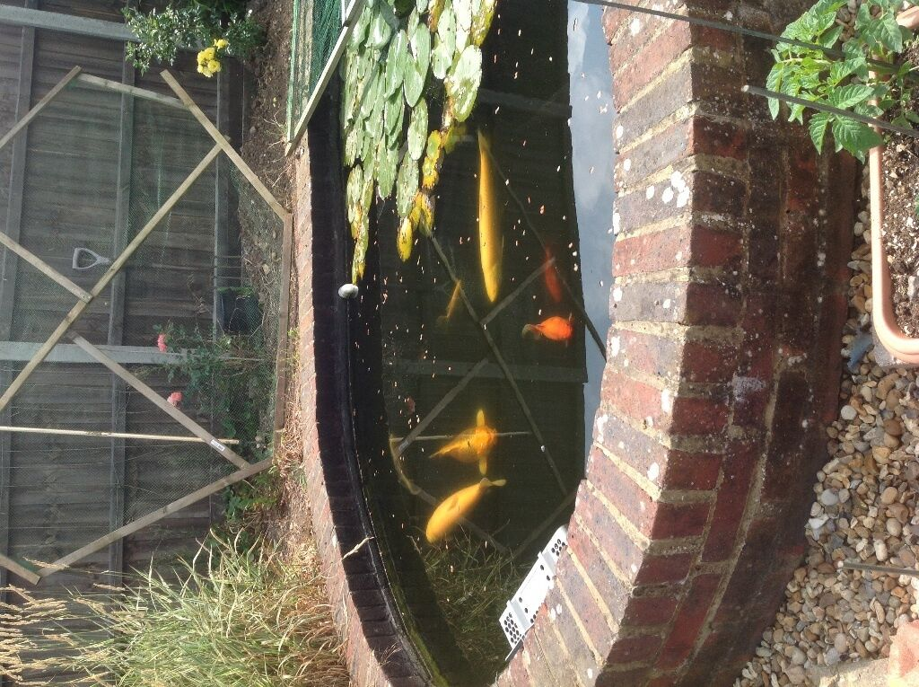 Pond clearance with over 90 fish offers please large koi for Green koi fish for sale