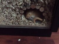 2 male gerbils with large glass cage and accessories for sale