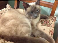 Beautiful boy Birman cat. 2 years old. Very loving