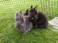 Beautiful Lionhead Baby Rabbits, 2 Grey, 1 Black