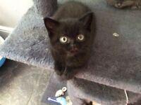 1 Seal British shorthaired kitten left