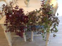 6 indoor hanging veragated plants