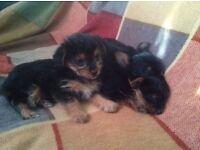 AdorableTiny Chorkie Puppies