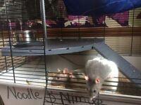 Pet rats for sale plus cage