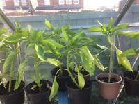 Pepper plants for sale £1.00 each