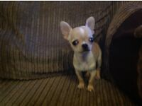 Male Chihuahua puppy. Chipped. Vaccinated