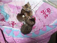 3 kittens for sale, stunning kitten