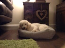 Cream Toy Poodle 2yrs old
