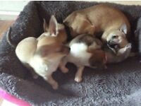 3 puppy chihuahuas for sale