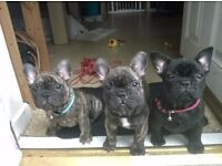 Lovely french bulldogs puppy`s for sale in loving home
