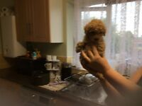 Toy poodle puppie