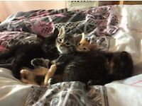 Beautiful kittens for sale to a loving home
