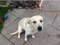 15 month Labrador retriever