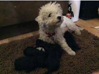 Poochons pups for sale, both parents kc Reg BICHON FRISE x toy poodle