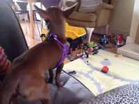 Gorgeous 7 month old chocolate brown tiny chihuahua