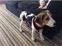 14 week old female beagle