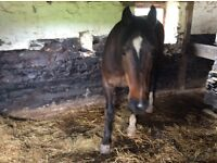 19 yr old gelding for companion pony
