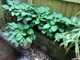 Plants - Fully grown healthy plants. Hosta.