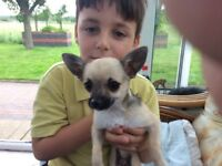 5 tiny chihuahua puppies for sale smooth coat lovely colours and markings
