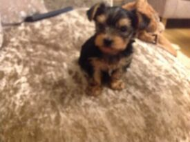 MALE YORKIE PUPPY FROM TEA CUP PARENTS. LOTS OF EXTRAS INCLUDED IN THE PRICE.