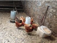 ISA brown two year old free range hens free to a good home