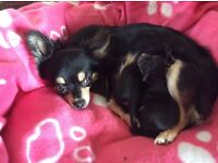chihuahua puppies 1 boy 2 bitches