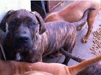 2 Stunning Cane Corso x Dog de Bordeaux pups for sale