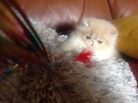 Pedigree Persian Kitten