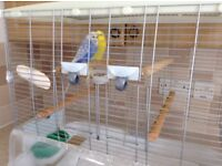 Pair of beautiful budgies and Hagen vision cage