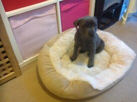 Staffordshire bull terrier blue bitch 11weeks old