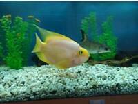 Urgent! Tropical fish for sale