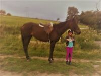16HH 9 Years old TB Mare
