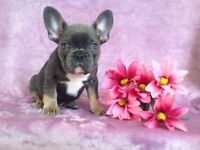 Beautiful Cobbly Blue and Tan Kc Frenchbull dog puppies