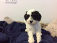 Gorgeous Cavapoo Puppies For Sale - only 2 left