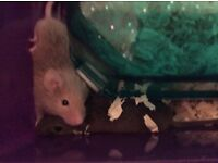 4 baby male mice for sale