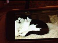 Black &white male cat pink nose lost Goldington Bedford 22/08/17
