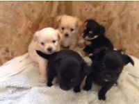 Beautiful Pedigree Chihuahua puppies for sale