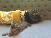 Part rag doll kittens