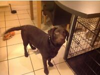 Chocolate labrador puppy 6 month old